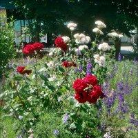 Расцветает июнь! :: Нина Корешкова