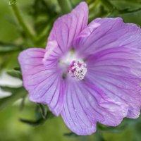 цветочек :: Лариса Батурова