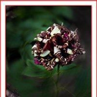 Это роза :: Владимир Кроливец