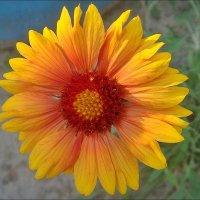 Светла, как ясный день, гайллардия из нашего двора... :: Нина Корешкова