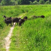 Попытка перехода через границу (была пресечена пастухом) :: Андрей Лукьянов