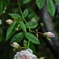Веточка из роз :: Виолетта