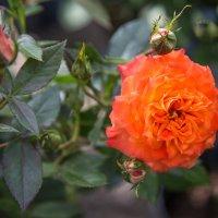 ...роза :: Elena Tatarko (фотограф)