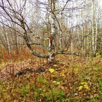 осень. берёзы. :: petyxov петухов