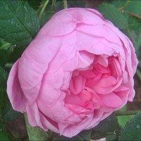 Розовая прелесть июня :: Нина Корешкова