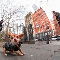 ЗВЕРЬ, а не собака!!! Одному не удержать... :: Roman Mordashev