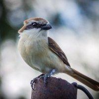 Подскажите, что за птица. :: Сергей Щелкунов