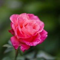 Дачное. Первая роза в этом году. :: Евгения Кирильченко