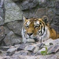 Тигр :: Sergey Lebedev
