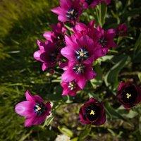 Тюльпаны :: Victoria Victoria