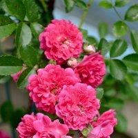Про розы.. :: Михаил Болдырев
