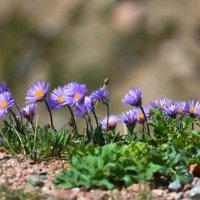 горные цветы :: Горный турист Иван Иванов