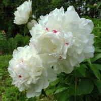 Белые пионы :: Svetlana27