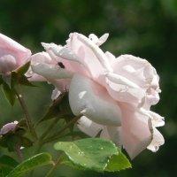 Розовые розы :: Игорь Шубовичь