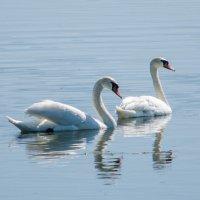 Белый лебедь :: Дмитрий Яшин