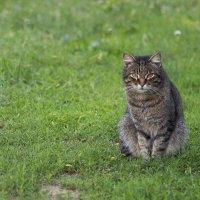Соседский кот :: Елена