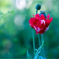 poppies16-2 :: yameug _