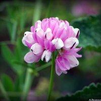 Цветы лета :: Андрей Заломленков