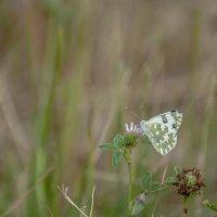 Бабочка :: Михаил Тищенко