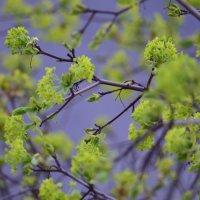 весна :: Светлана Пантелеева