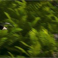 Полёт чибиса-прерии-из серии«Наши пернатые друзья!» :: Shmual Hava Retro