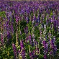 Люпиновое поле.. :: Андрей Нибылица