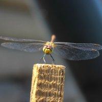 dragonfly :: Darya Karnaeva