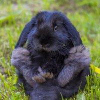 Вислоухий кролик :: Дмитрий Рутковский