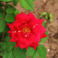 Красная роза с белой отметиной :: Damir Si
