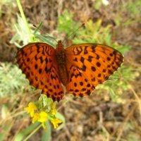 бабочка-красавица :: tgtyjdrf