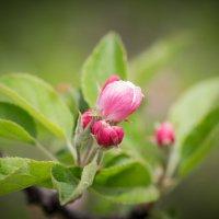 Почти цветок яблони :: Полина Суязова