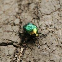 Майский жук :: Irina Seliverstova