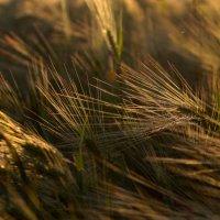 зелёный хлеб :: Denis Vasiliev