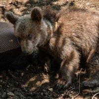 медвежонок :: Андрей ЕВСЕЕВ
