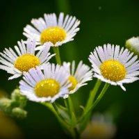 Цветы... :: Петр Заровнев
