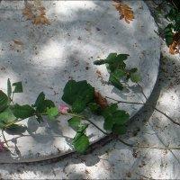 Прилегла отдохнуть роза чайная... :: Нина Корешкова