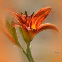 Огненый цветок :: Валерий Лазарев