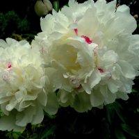 Таинство цветов :: Svetlana27
