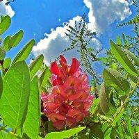 Акация розовая (Робиния клейкая -Robinia Viscosa) :: Александр Корчемный