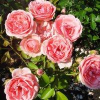Ты, роза, цветок самый лучший, самый красивый, самый пахучий! :: Елена Павлова (Смолова)