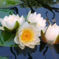 Белые лилии :: Павлова Татьяна Павлова