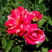 Розы :: Нина Бутко