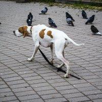 Собака и голуби :: Aнна Зарубина