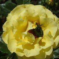 Жёлтая роза с жуком... :: Тамара (st.tamara)