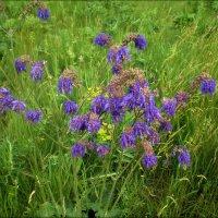 Цветики полевые :: Татьяна Пальчикова