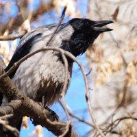 Да ворона :: kolyeretka