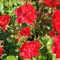 Розы :: Елена Павлова (Смолова)