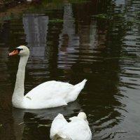 Лебеди. :: Юлия Ваганова