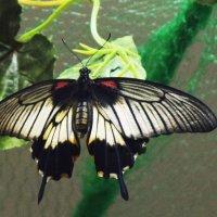Бабочка :: Ирина Кочкарева