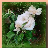 Белая роза-роза любви!!! :: Юрий Владимирович